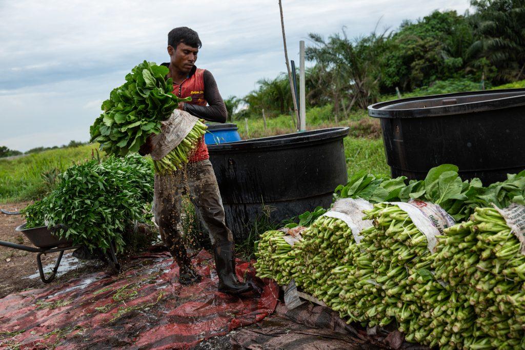 A Rohingya farm worker in Banding, Kuala Lumpur, April 2019. © ARNAUD FINISTRE